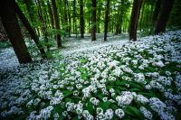 Bärlauch-Wald