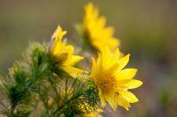 Adonisröschen, Frühlings-