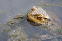 Amphibien