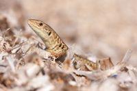 Eidechsen, Geckos und Agamen
