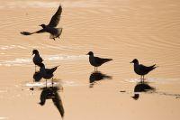 Watvögel, Seeschwalben u. Möwen- u. Alkenvögel