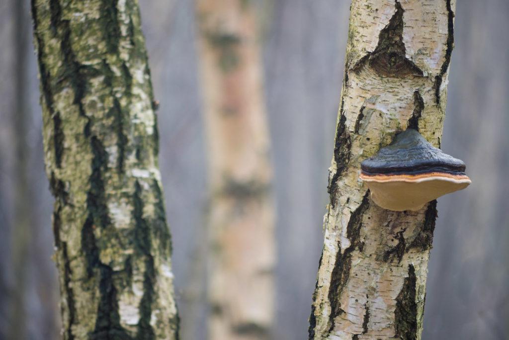 Birke mit Baumschwamm