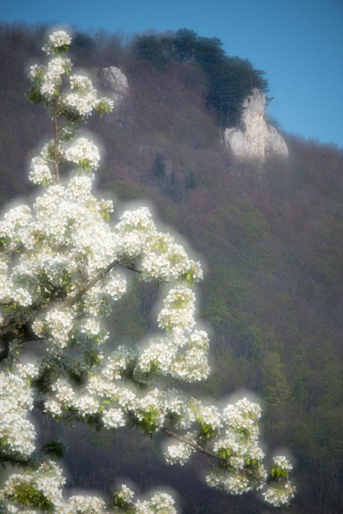 Obstbaumblüte und Gelber Fels