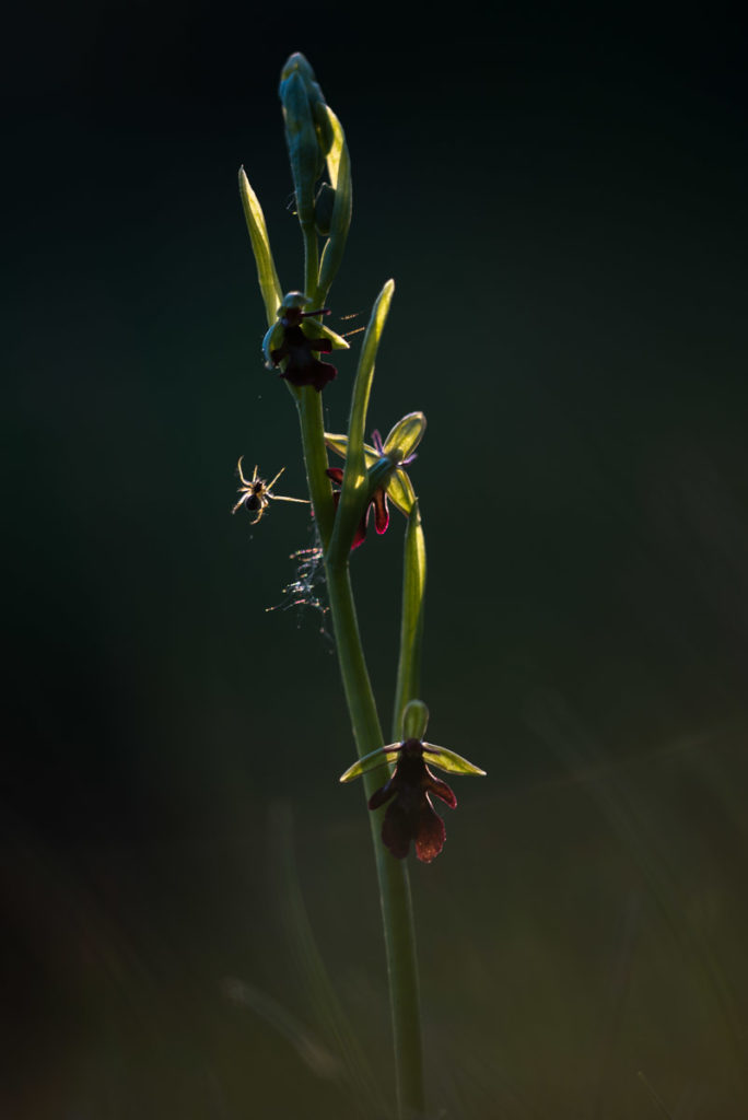 Spinne auf Fliegen-Ragwurz