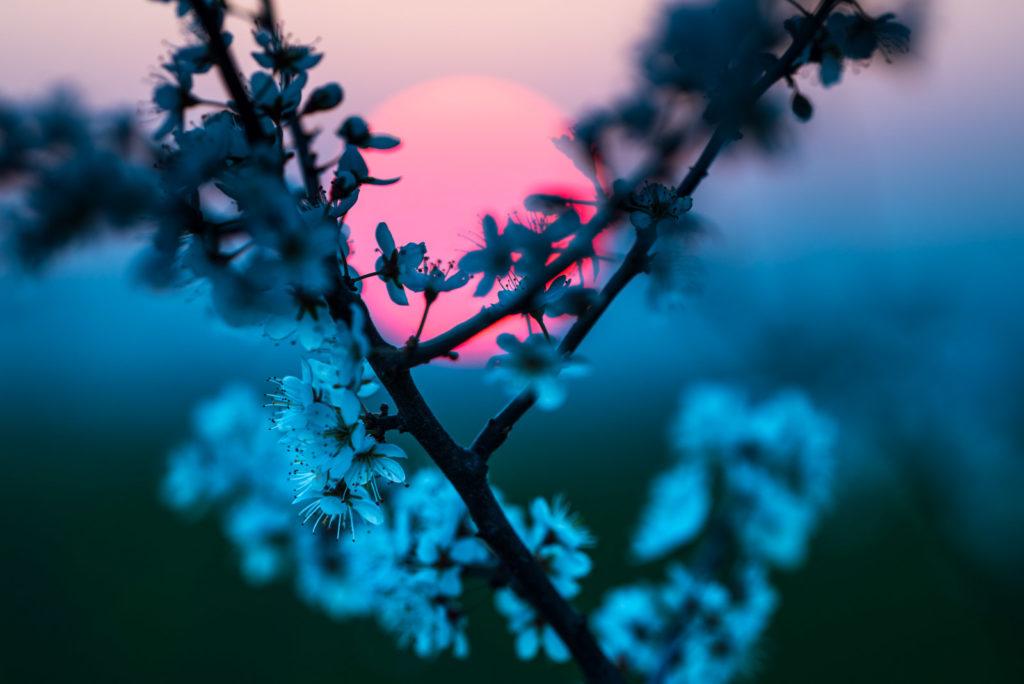 Blüte der Schlehe