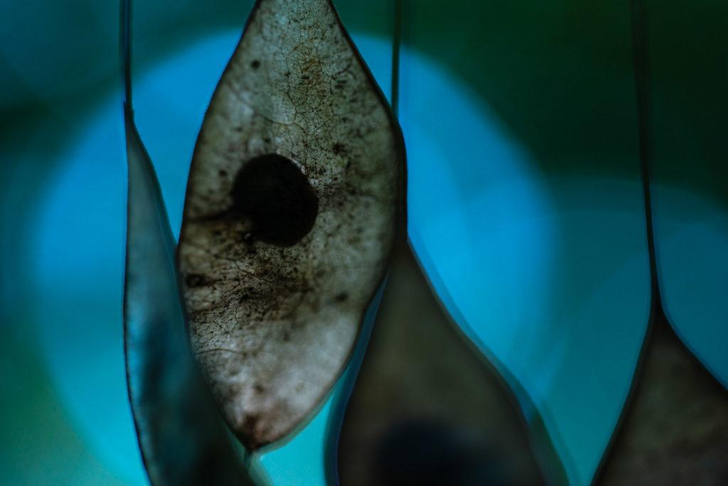 Frucht des Silberblatts