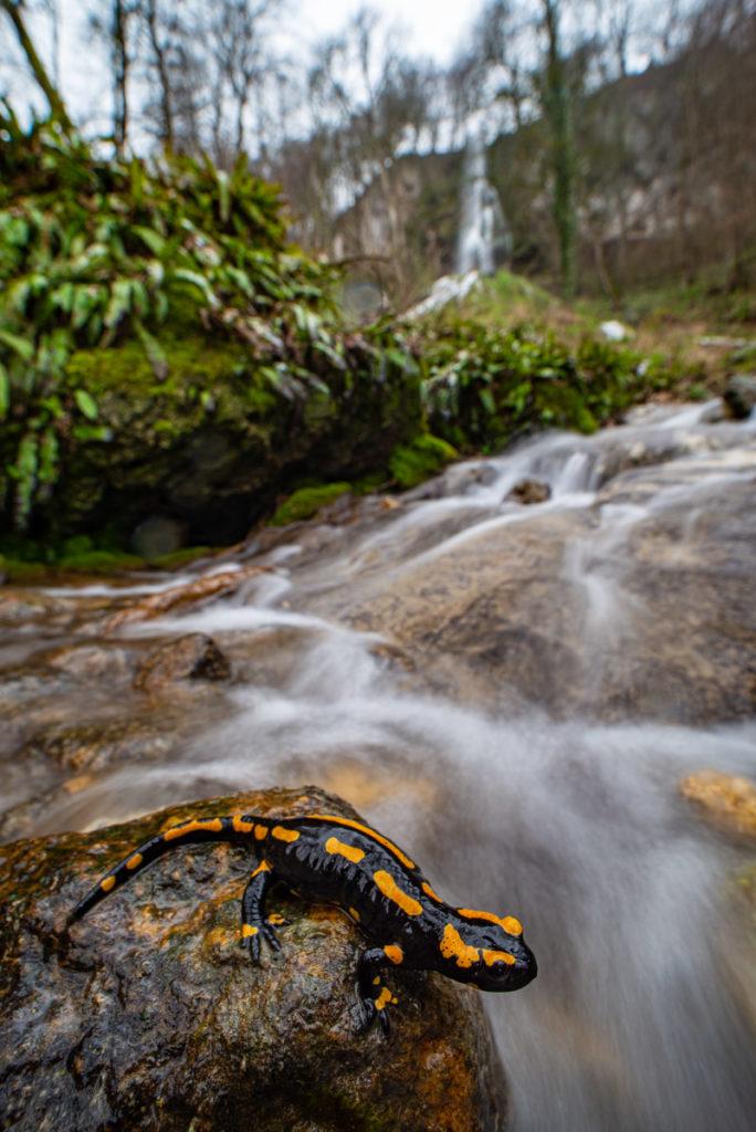 Feuersalamander und Uracher Wasserfall