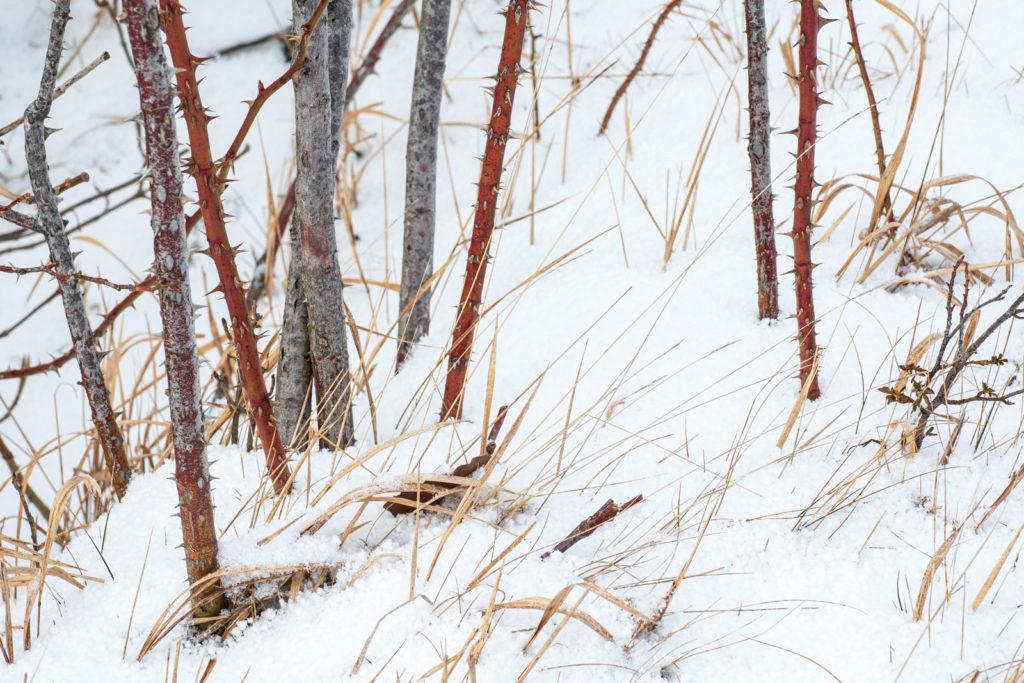 Wilde Rosen im Schnee