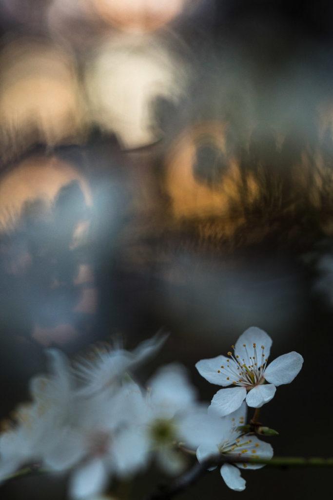 Blüte der Kirschpflaume