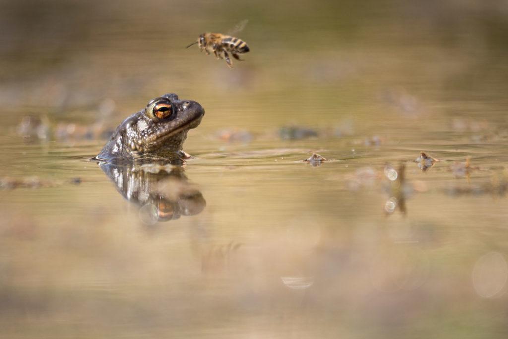 Erdkröte und Honigbiene