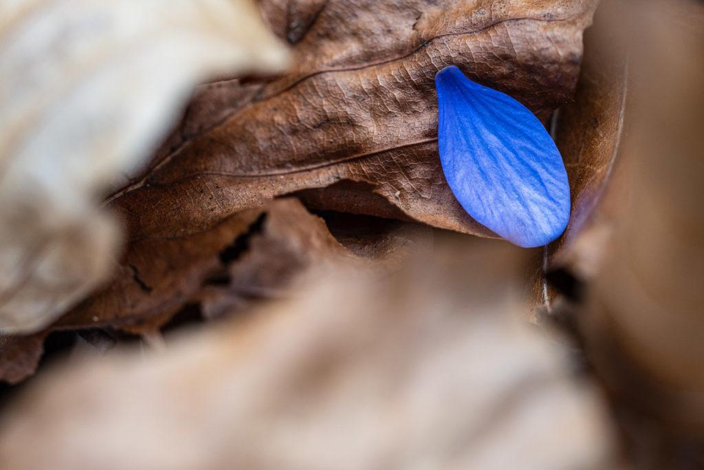 Blütenblatt des Leberblümchens
