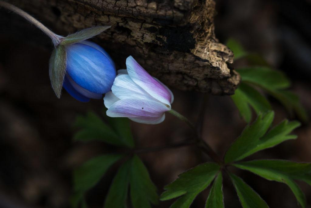 Leberblümchen trifft Buschwindröschen
