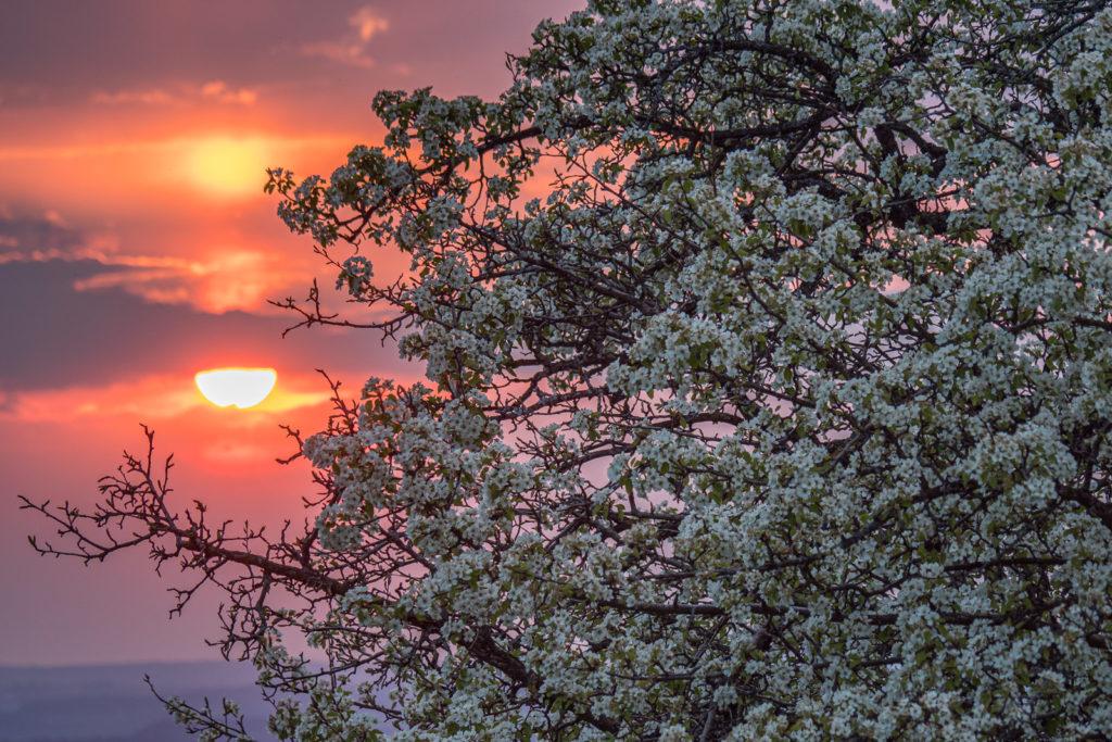 Sonnenuntergang u. blühender Birnbaum