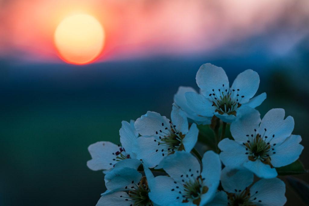 Birnbaumblüte und Sonnenuntergang