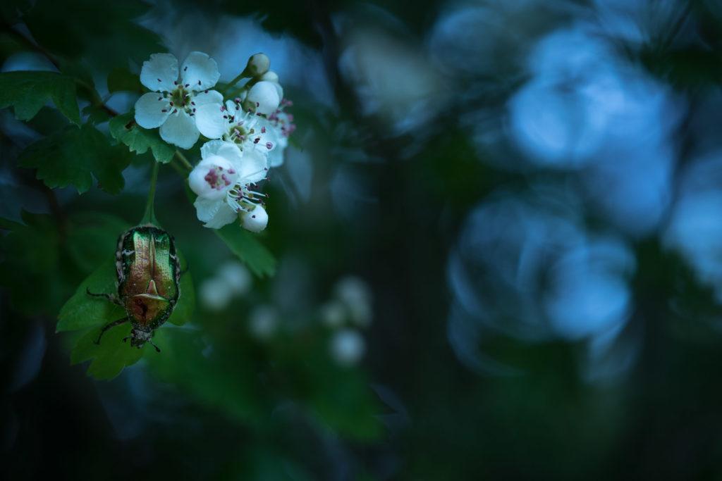 Gewöhnlicher Rosenkäfer auf Weißdorn