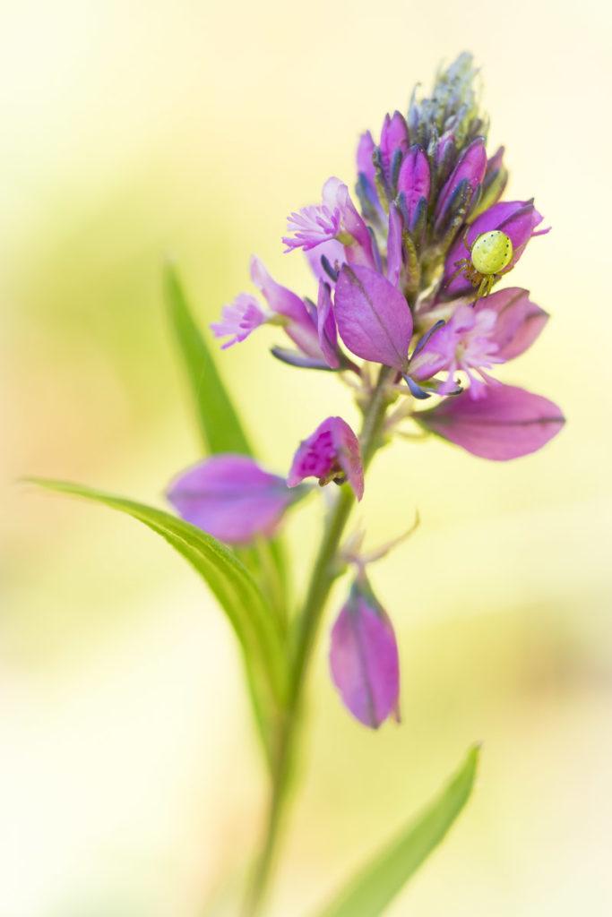 Kürbisspinne auf Gewöhnlicher Kreuzblume