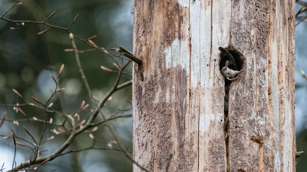 Sperlingskauz bringt Maus in Bruthöhle