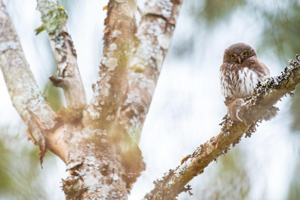 Sperlingskauz, Jungvogel mit Maus